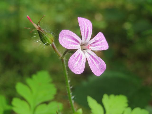 geranium-robertianum-855435_640